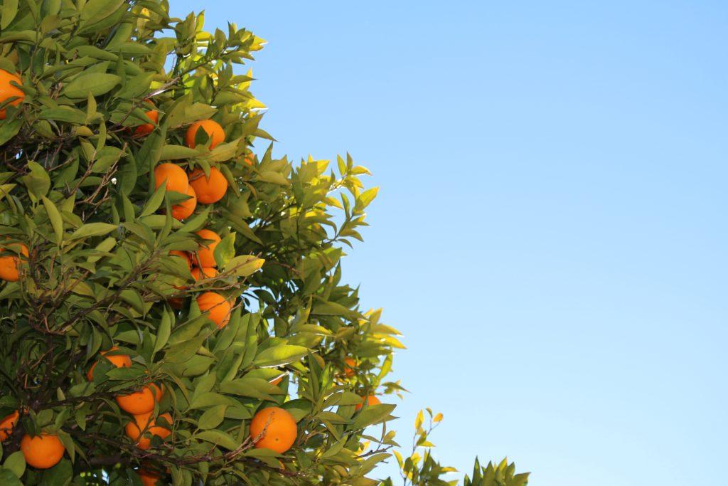 Plantacja pomarańczy