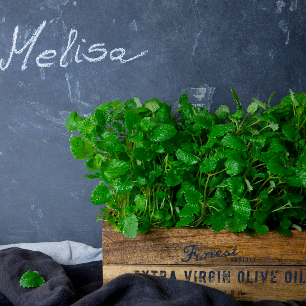 Melisa - zastosowanie kulinarne, właściwości, pielęgnacja