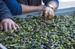 Oliwa z oliwek – co tam naprawdę różni ją od innych olejów
